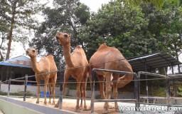 Zoo Johor Camel
