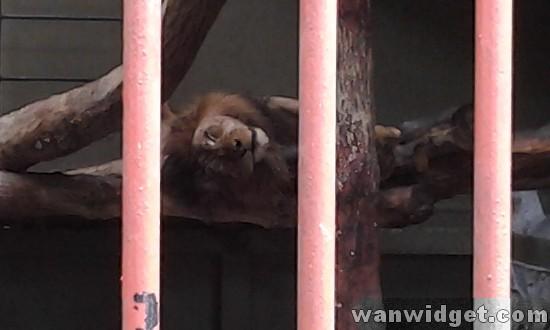 Zoo Johor Lion