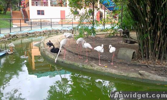 Zoo Johor White Swan