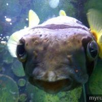 Ikan buntal di aquarium batu maung penang