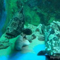 Ikan kerapu besar di Penang