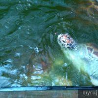 Penyu di aquarium penang