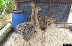 Anak anak burung unta di ladang ostrich