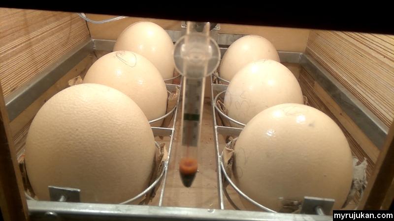 Telur burung unta yang diperam sendiri menggunakan lampu